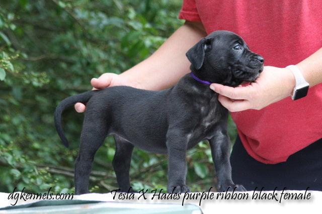 Tesla X Hades 5wks 228 1 Purple Blk Female