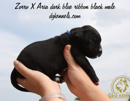 Zorroxaria Dark Blue Ribbon Black Male