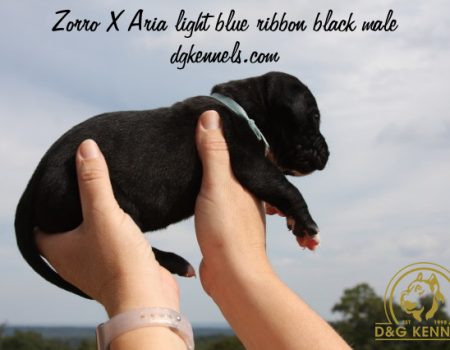 Zorroxaria Light Blue Ribbon Black Male