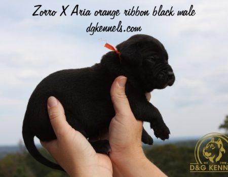 Zorroxaria Orange Ribbon Black Male