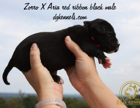 Zorroxaria Red Ribbon Black Male